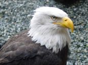 Bald eagle wallpapers 8