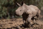 Rare northern white rhino dies in Africa as populationdwindles